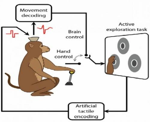 Monkeys feel, move virtual objects using only their brains (w/ video)