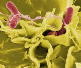 New salmonella-based 'clean vaccines' aid the fight against infectious disease