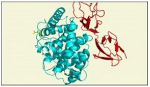 New structure of an important immune system complex resolves a 10-year controversy