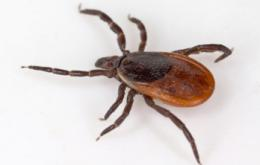 New tick-borne disease discovered