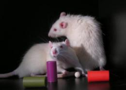 Tired neurons caught nodding off in sleep-deprived rats