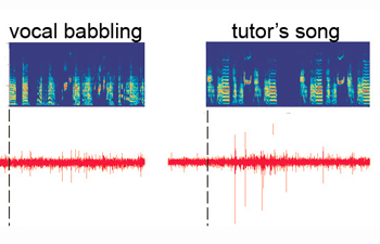 Neural circuit in the songbird brain that encodes a representation of learned vocal sounds located