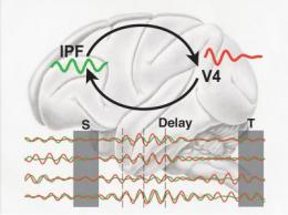 Short-term memory is based on synchronized brain oscillations