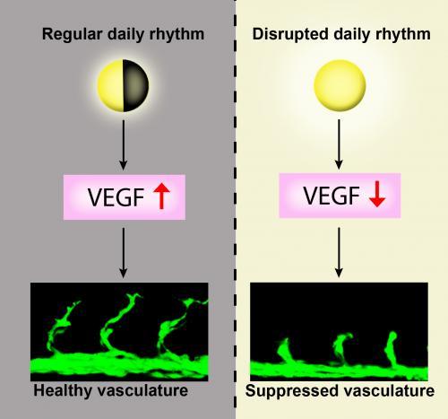 Zebrafish study explains why the circadian rhythm affects your health