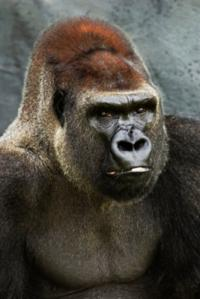 The silent gorilla: Intense concentration leaves us 'deaf' to the world around us