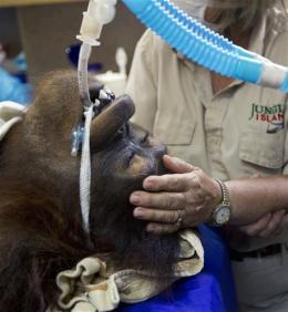 Orangutan's cancer treatment similar to humans