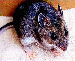 Precautions for hantavirus urged when opening, cleaning hunting camps