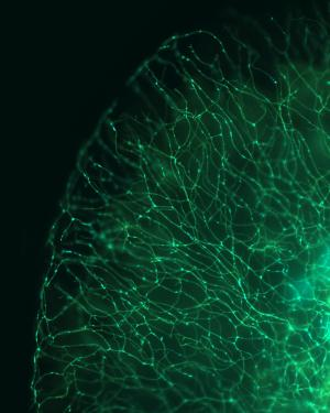 See-through 'MitoFish' opens a new window on brain diseases