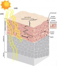 Scratching the surface: Engineers examine UV effects on skin mechanics