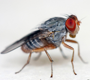 How the common fruit fly is helping scientists to study alcohol-related disorders