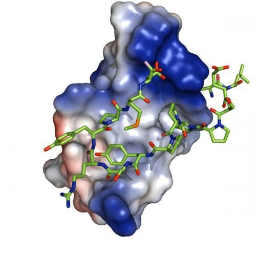 Researchers describe new molecular interactions behind the inhibition of TGF beta-signaling
