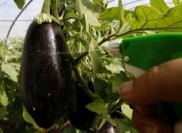 A farmer sprays his eggplant plantation with pesticides