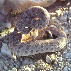 Cost of snakebite therapy may squeeze victims' wallets