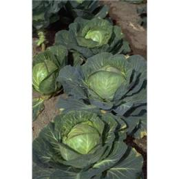 Could cabbage hold the key to preventing diseases?