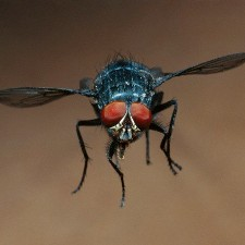 Fly neurons could reveal the root of Alzheimer's disease