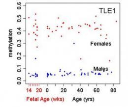 Gene regulator in brain's executive hub tracked across lifespan -- NIH study