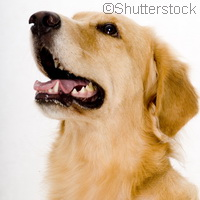 Golden retrievers help scientists track human disease genes