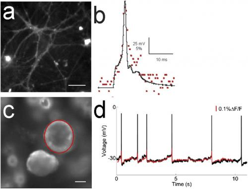 Your brain on dye: Imaging neuronal voltage with fluorescent sensors and molecular wires