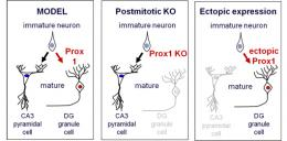 Prox1 controls differentiation of hippocampal granule cells