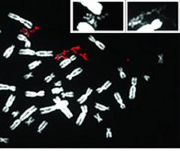 'Pulverized' chromosomes linked to cancer?