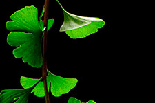 Taking Ginkgo biloba does not improve memory