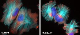 Cancer gene family member functions key to cell adhesion and migration