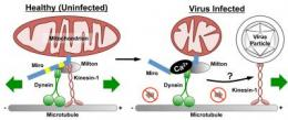 To spread, nervous system viruses sabotage cell, hijack transportation