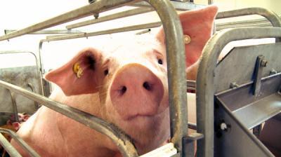 Researchers unveil nation's first porcine virus rapid detection test