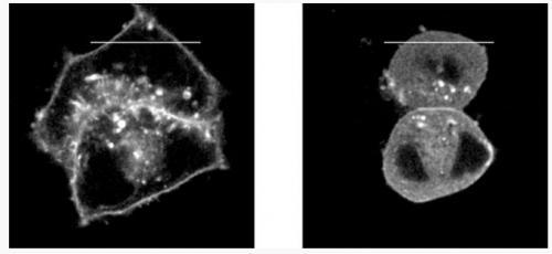 New inhibitor blocks the oncogenic protein KRAS