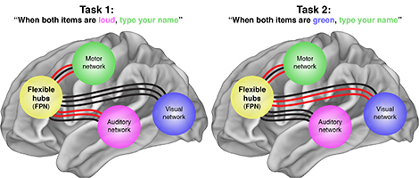 Brain's flexible hub network helps humans adapt: Switching stations route processing of novel cognitive tasks