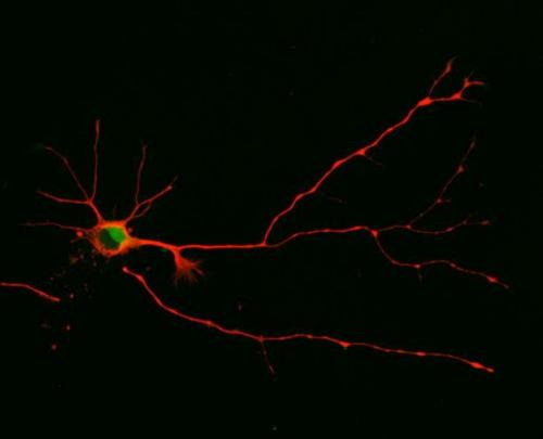 How neurons get wired