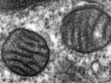 Mitochondrial mystery