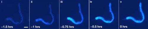 Wave of blue fluorescence reveals pathway of death in worms