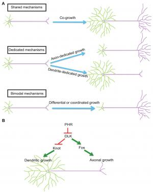 All together now: Novel mechanism directs both dendritic and axonal growth in the same neuron