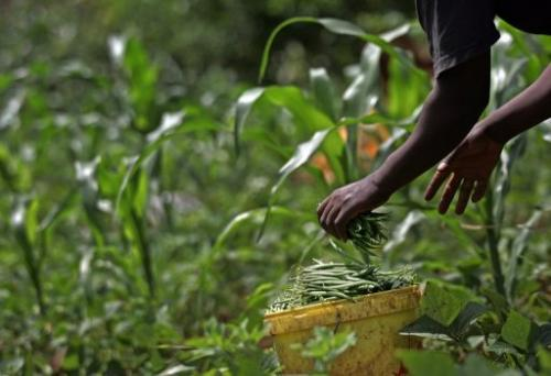 A farmer harvests green beans on May 16, 2008 in Kagio, 90 kms northeast of Nairobi