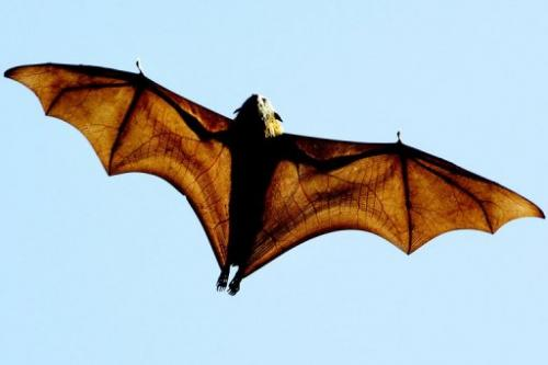 A grey-headed flying fox, a native Australian bat, flies over Sydney's Botanical Gardens on 17 August 2005