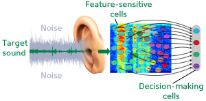 Audio processing: Following the brain's lead
