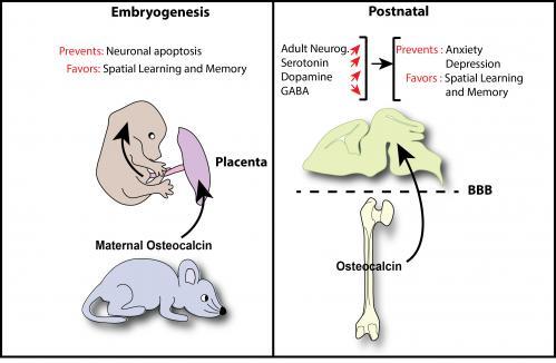 Bone hormone influences brain development and cognition