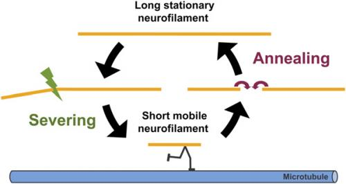 Splice this: End-to-end annealing demonstrated in neuronal neurofilaments
