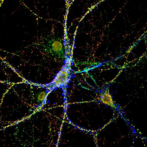 Cellular environment controls formation and activity of neuronal connections