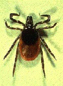 Deer ticks carry yet another bacterial threat