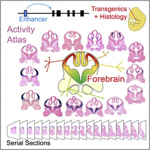 Genome-wide atlas of gene enhancers in the brain online