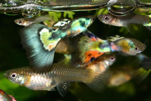 Guppy fish proven to be cheap, effective tool in fight against dengue