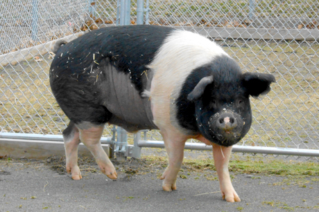 Hampshire pig Nemo gets pioneering chemo