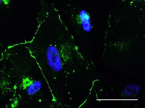 Heart cells change stem cell behavior