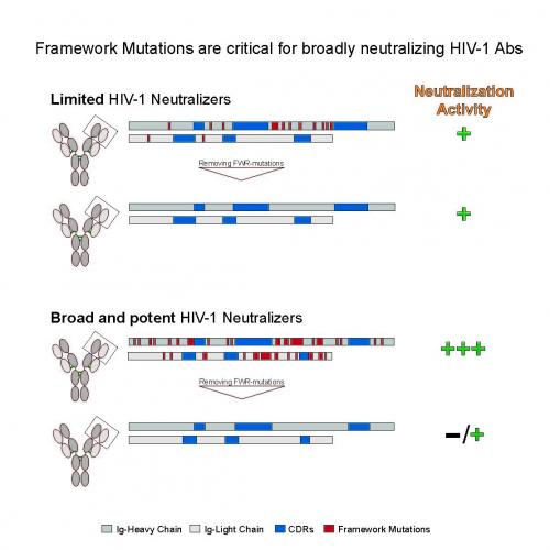 HIV antibodies that are worth the wait