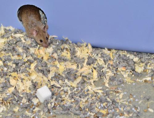 Sugar is toxic to mice in 'safe' doses