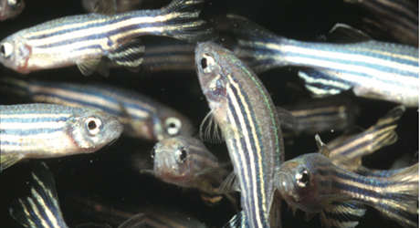 Mechanisms of wound healing are clarified in MBL zebrafish study