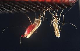 Mosquito bites deliver potential new malaria vaccine
