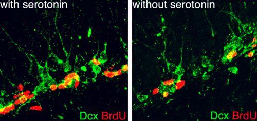 Serotonin mediates exercise-induced generation of new neurons